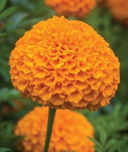 Who's Your Marigold?